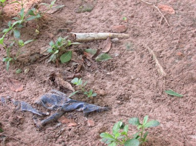 Human bones uncovered after heavy rain, Choeung Ek, 2014.