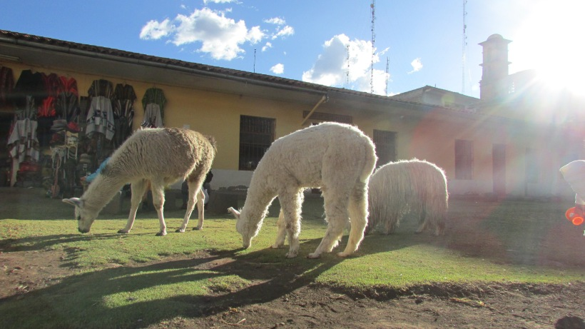 Alpacas grazing.