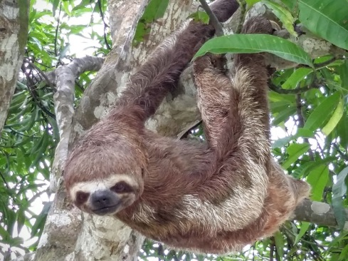 Sloths move only when necessary and even then very slowly; they have about a quarter as much muscle tissue as other animals of similar weight. Sloth fur exhibits specialized functions: the outer hairs grow in a direction opposite from that of other mammals. In most mammals, hairs grow toward the extremities, but because sloths spend so much time with their legs above their bodies, their hairs grow away from the extremities to provide protection from the elements while the sloth hangs upside down. In most conditions, the fur hosts two species of symbiotic algae, which provide camouflage.