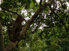 The capuchin monkey feeds on a vast range of food types, and is more varied than other monkeys in the family Cebidae. They are omnivores, and consume a variety of plant parts such as leaves, flower and fruit, seeds, pith, woody tissue, sugarcane, bulb, and exudates, as well as arthropods, molluscs, a variety of vertebrates, and even primates. Like most New World monkeys, capuchins are diurnal and arboreal. With the exception of a midday nap, they spend their entire day searching for food. At night, they sleep in the trees, wedged between branches. They are undemanding regarding their habitat and can thus be found in many differing areas.