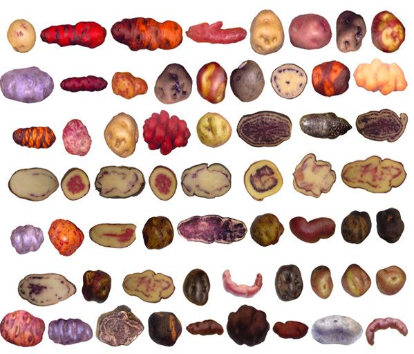 Varieties of Potatoes cultivated under different conditions in the Andes, each offering different nutritional properties.