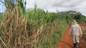 Sugar cane in the field, Vinales Valley, Cuba, 2017.