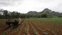 A campesino cultivating tobacco, Vinales Valley, Cuba, 2017. His tools and methods are much the same as those that an enslaved laborer might have used in the time of Las Casas, though, it must be noted, without the coercive violence of an overseer.