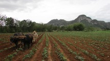 A campesino cultivating tobacco. His tools and methods are much the same as those that an enslaved laborer might have used in the time of Las Casas, though, it must be noted, without the coercive violence of an overseer. (Vinales Valley, Cuba, 2017.)