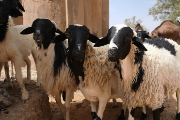 Traditionally, Berber men have raised livestock like these sheep, which provide wool, meat, and leather.