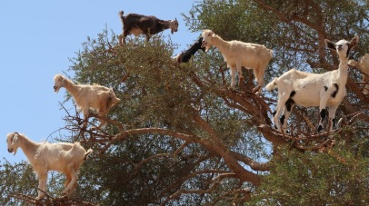 The goats are nearly as resourceful as the Berber themselves.