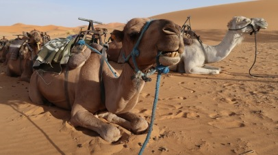 Camels lying in sternal recumbency, a position that aids heat loss. Dromedaries have a pad of thick tissue over the sternum called the pedestal. When the animal lies down in a sternal recumbent position, the pedestal raises the body from the hot surface and allows cooling air to pass under the body.