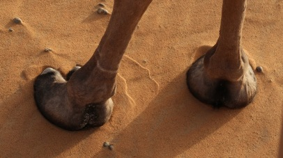 Camel's feet are leathery and broad, distributing their weight over the sand more evenly - they can walk easily over sand that into which a horse's hooves would sink.