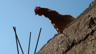 Chickens often range freely, living on rooftops or in the courtyards of homes, providing fresh eggs and meat to their owners.