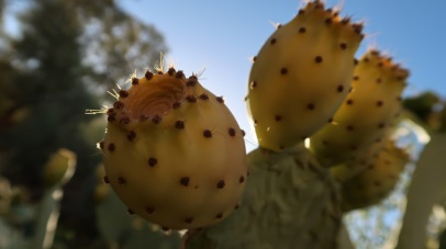 In Morocco, Tunisia, Libya, Saudi Arabia, Jordan, and other parts of the Middle East, prickly pears of the yellow and orange varieties are grown by the side of farms, beside railway tracks and other otherwise noncultivable land. It is sold in summer by street vendors, and is considered a refreshing fruit for that season.